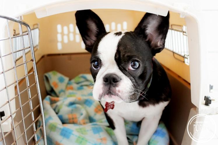 como-levar-cachorro-para-portugal (1)