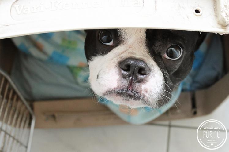 como-levar-cachorro-para-portugal (6)